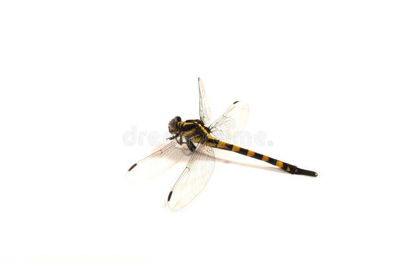 Libelle, weißer Hintergrund stockfotos