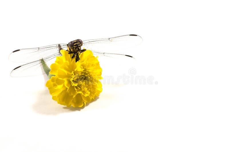 Libelle, weißer Hintergrund, gelbe Blume lizenzfreies stockbild