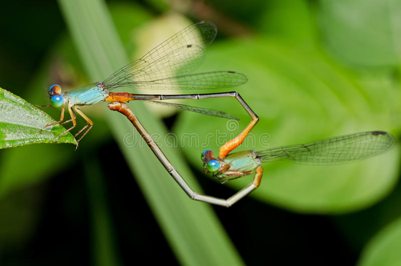 Libelleanschluß lizenzfreie stockfotos
