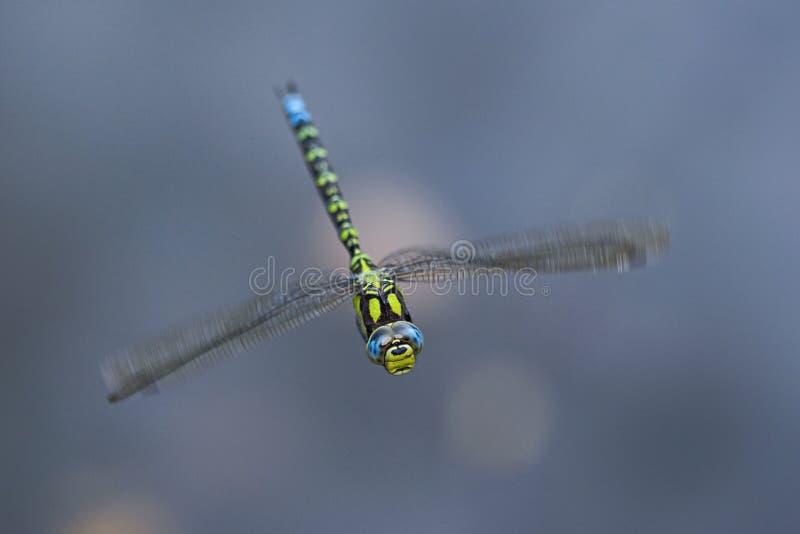 Libelleflugwesen im Wind stockfoto