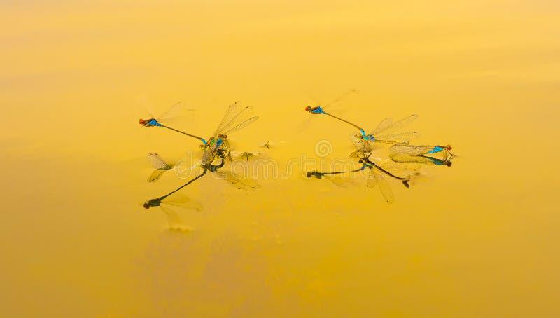 Libellen als aerobatic team in de hemel Geometrische die cijfers door libellen worden gecreeerd stock afbeelding