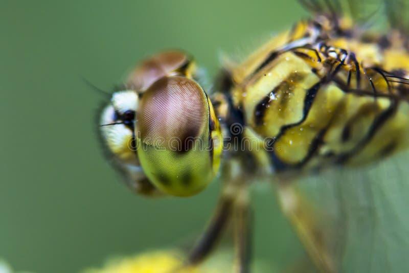 Libellen-Augen Grünes Blatt mit einem großen Wassertropfen stockbild