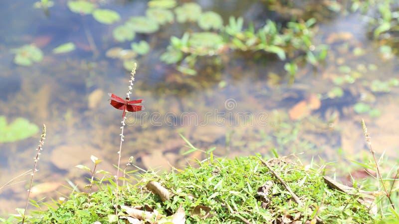 Libellen, die über dem Teich schweben stockfotografie