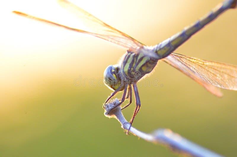 Libellen-Makro lizenzfreie stockfotografie