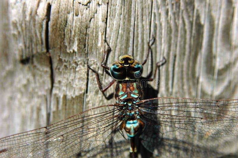 Libellenahaufnahme 2 lizenzfreie stockfotografie