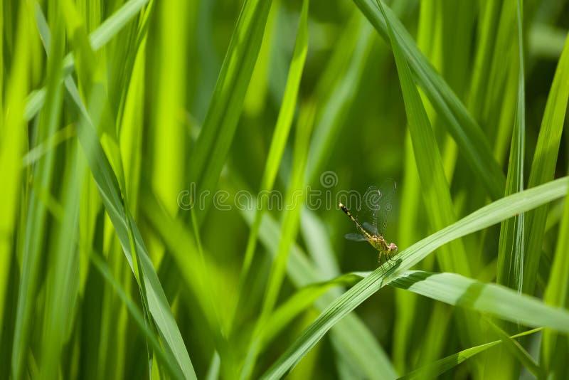 Libellenbauernhoffeld in Laos stockbild