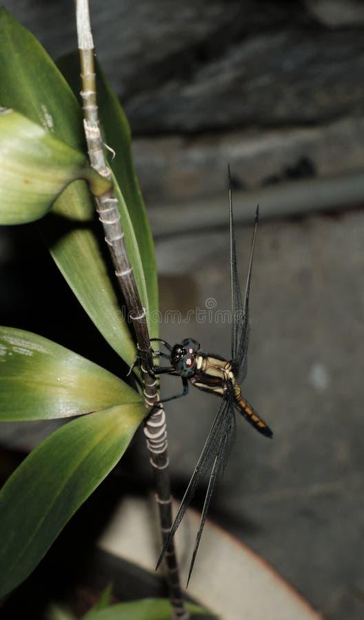 Libellenfliege auf einem Ast stockfoto