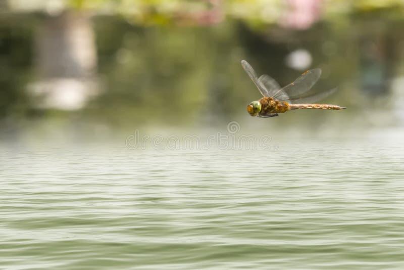 Libellenfliegen in einem Zengarten lizenzfreie stockfotos