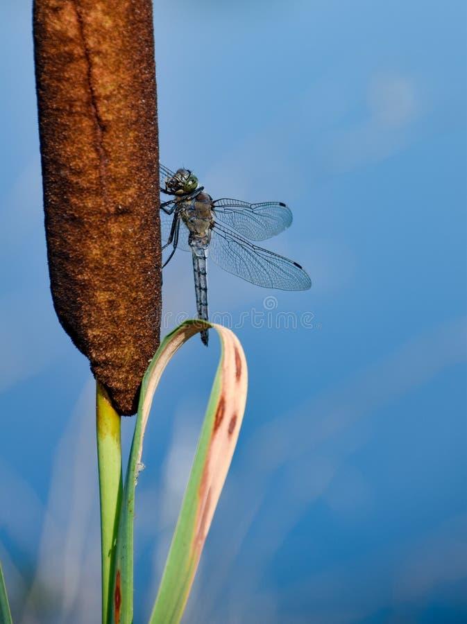 Libellennahaufnahme in der Natur gegen blaues Wasser stockfoto