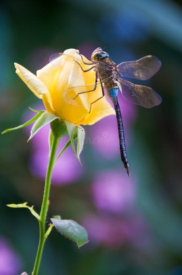 Libellestütze auf Blumengelb stieg stockfoto