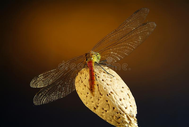 Download Libellula Fotografia Stock - Immagine: 25620162