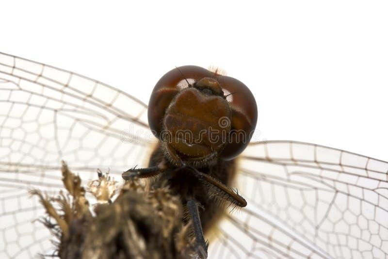 Download Libellula fotografia stock. Immagine di macro, parco, wildlife - 3145612