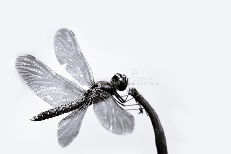 Libellula in bianco e nero con il primo piano spanto delle ali che si siede su un piccolo bastone immagini stock