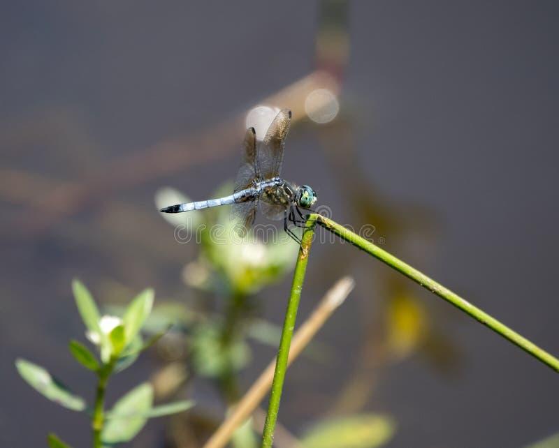Libellula blu di Dasher, Walton County Georgia, U.S.A. immagini stock