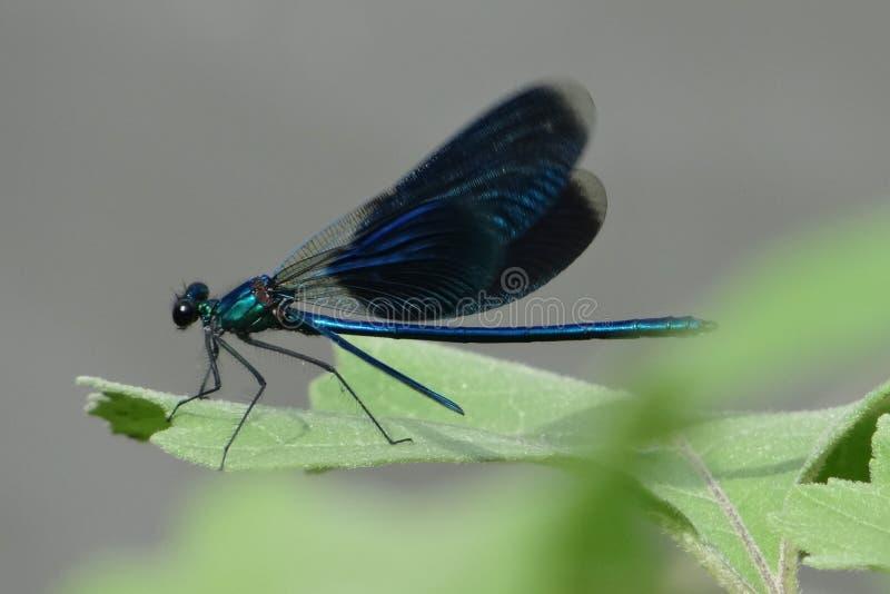 Libellula blu su un foglio verde fotografia stock libera da diritti