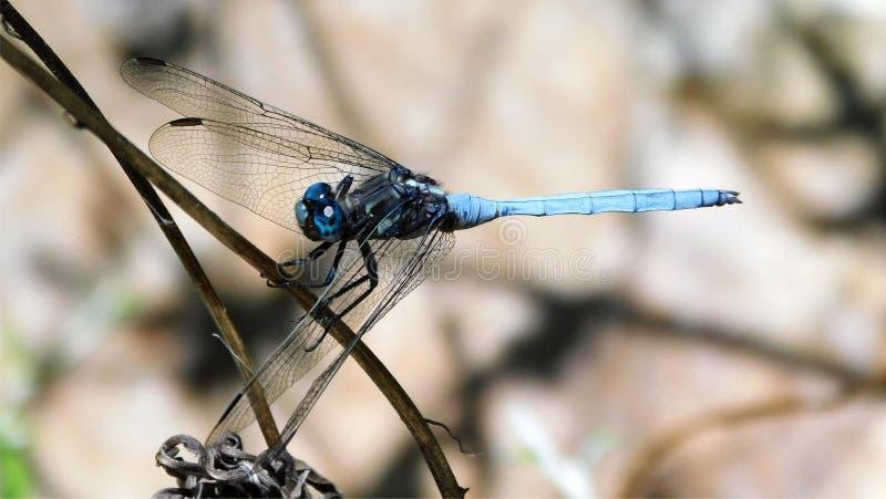 Libellula blu su un ramoscello asciutto fotografia stock