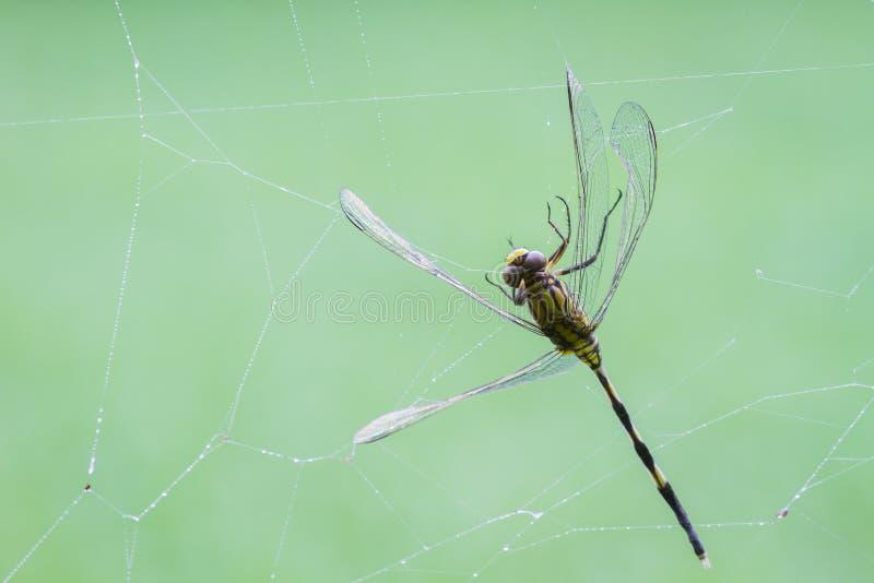 Libellula che è presa in un web di ragni sul backgro verde vago fotografie stock