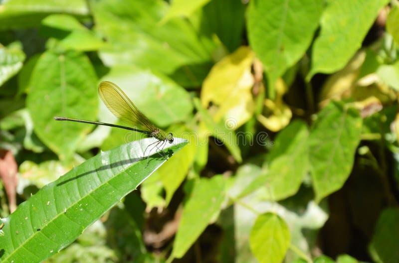 libellula che appende sulla foglia in foresta fotografie stock