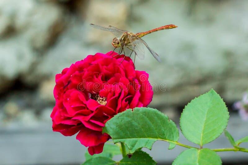 Libellula che si siede sulla rosa rossa in giardino, macro, sfondo naturale immagine stock
