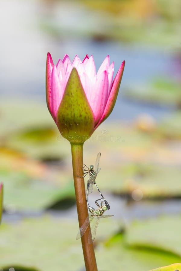 Libellula con loto rosa fotografie stock