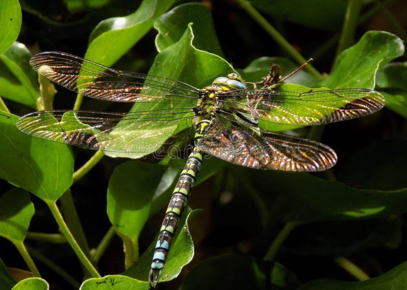 Libellula del sud maschio del venditore ambulante con il luccichio delle ali stese immagini stock