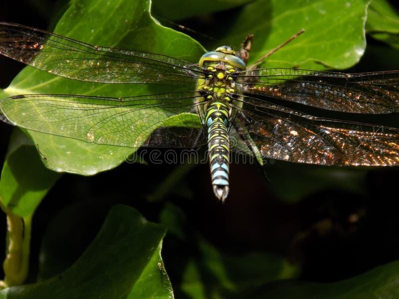 Libellula del sud maschio del venditore ambulante con le ali stese di luccichio immagine stock libera da diritti