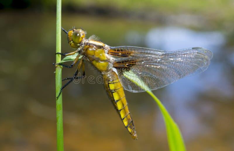 Libellula depressa (女性) -蜻蜓(宽广有驱体的追赶者) 库存照片