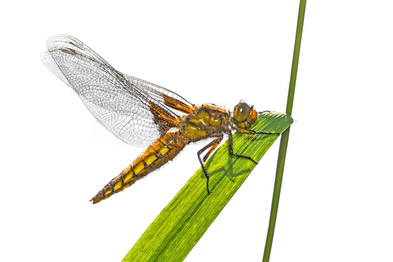 Download Libellula Depressa (female) - Dragonfly (Broad-bodied Chaser) Stock Image - Image of blue, female: 72184051