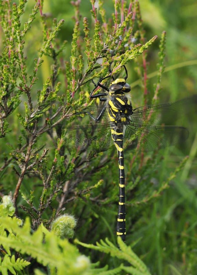 libellula Dorato-anellata fotografie stock