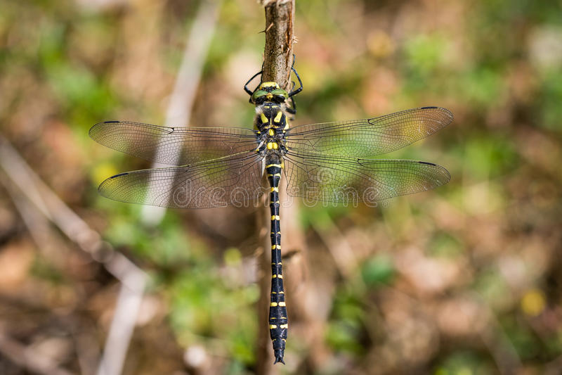 libellula Dorato-anellata, boltonii di Cordulegaster, sedentesi su un ramo fotografie stock