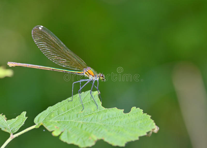 Download Libellula in foresta fotografia stock. Immagine di libellula - 56876706