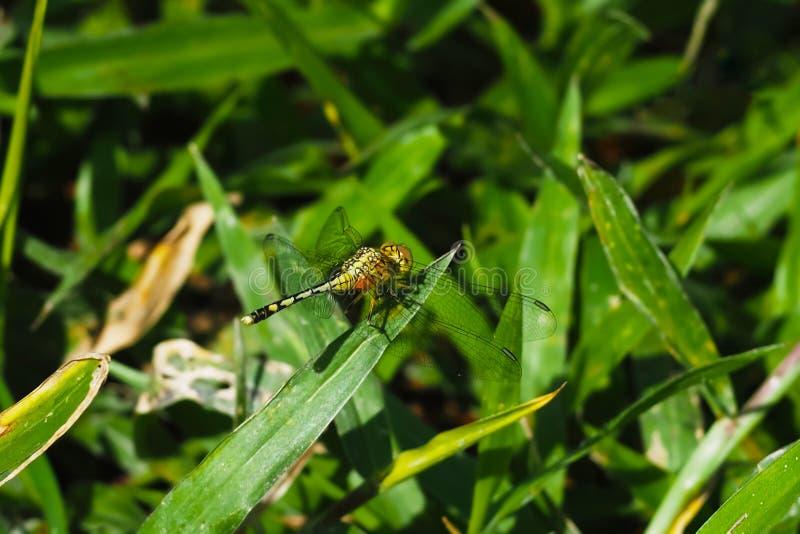 Libellula giallo verde appollaiata sull'erba, su uno sfondo naturale fotografie stock libere da diritti