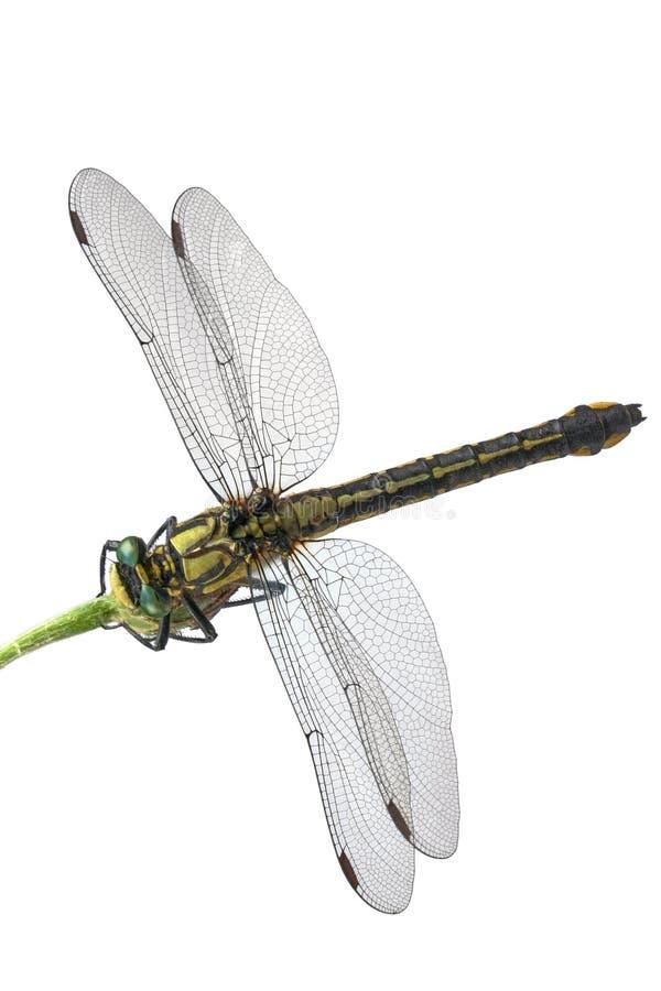 Libellula Green-eyed immagine stock libera da diritti