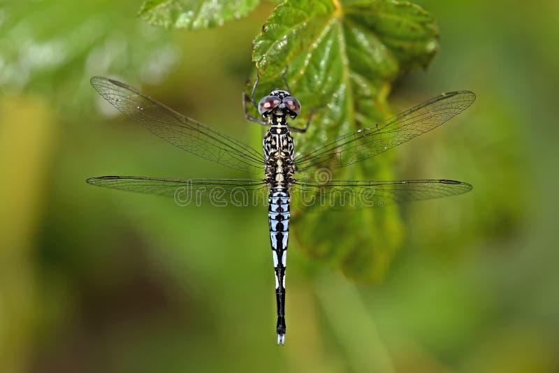 Libellula, libellule dei panorpoides della Tailandia Acisoma fotografia stock