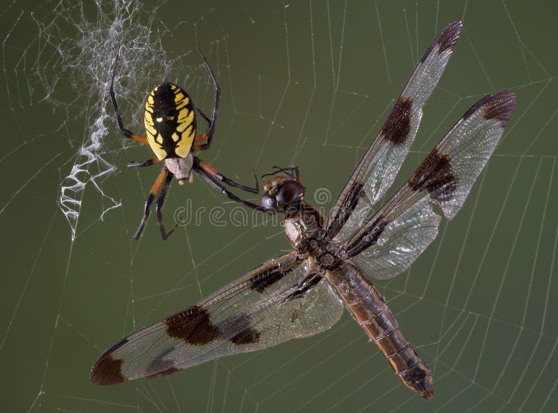 Libellula nel Web del ragno immagini stock