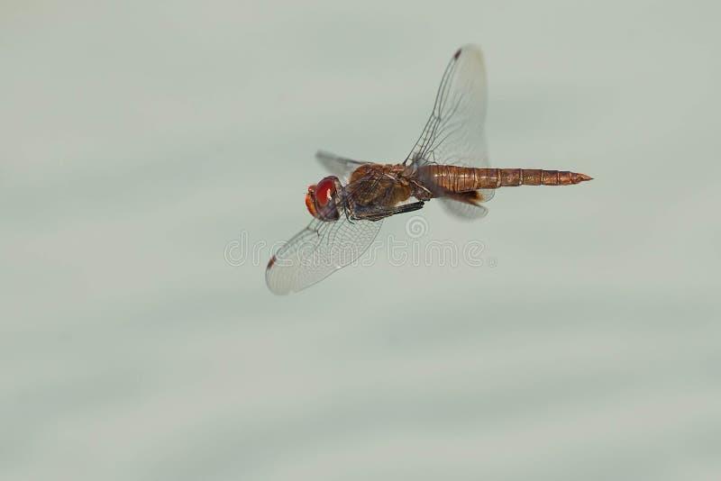 libellula Punto-alata dell'aliante fotografia stock