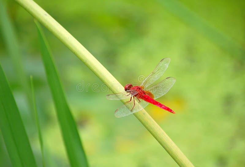 Libellula rossa fotografia stock