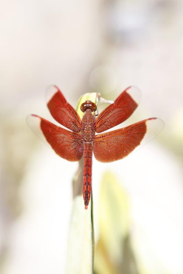 Libellula rossa 2 fotografia stock