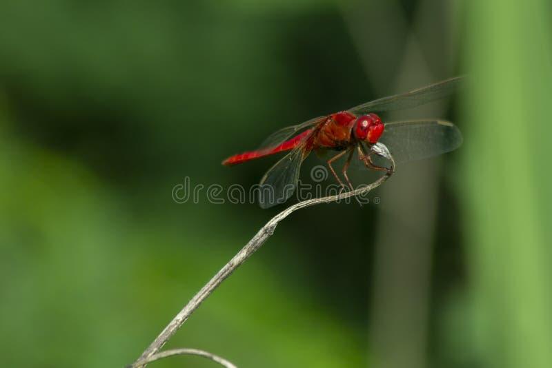 Libellula rossa su erba asciutta fotografie stock
