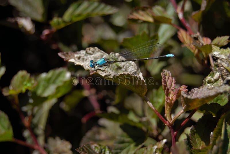 Libellula su un fiore fotografie stock libere da diritti