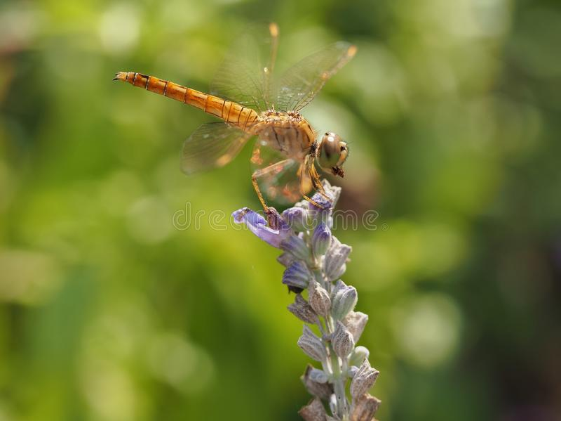 Libellula su un fiore con la preda in supporto fotografie stock libere da diritti