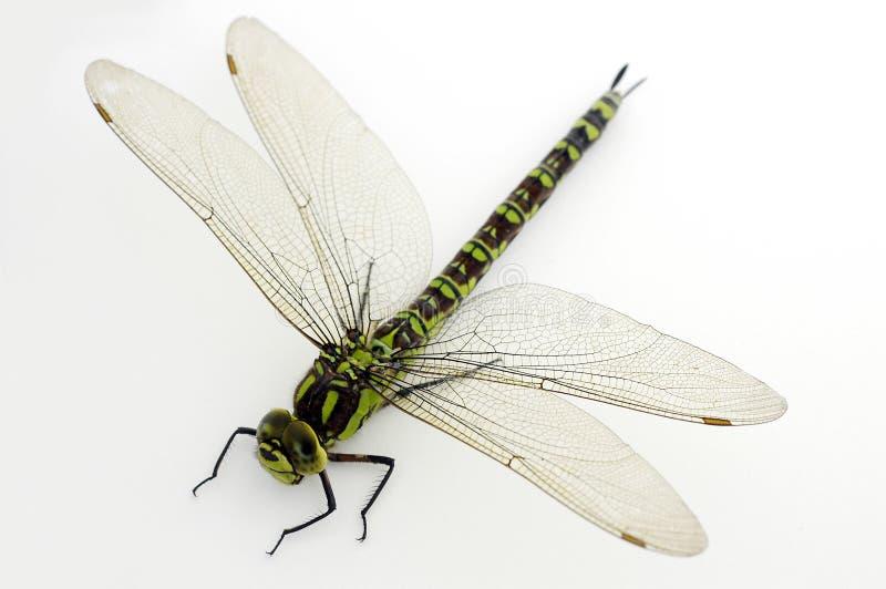 Libellula verde su bianco fotografia stock