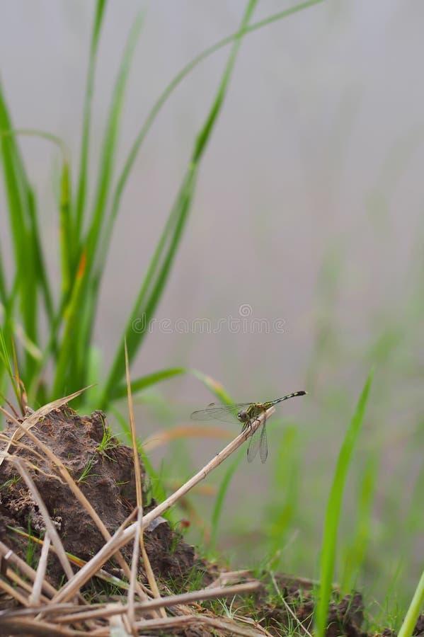 Libellula verde sui rami di albero asciutti, nello sfondo naturale fotografia stock