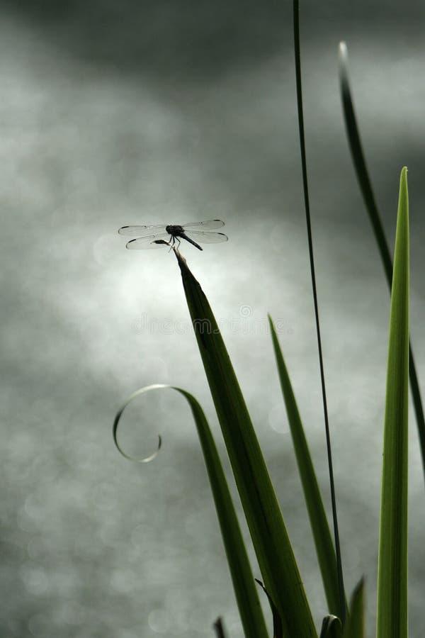 Libellule étée perché sur la lame photographie stock libre de droits
