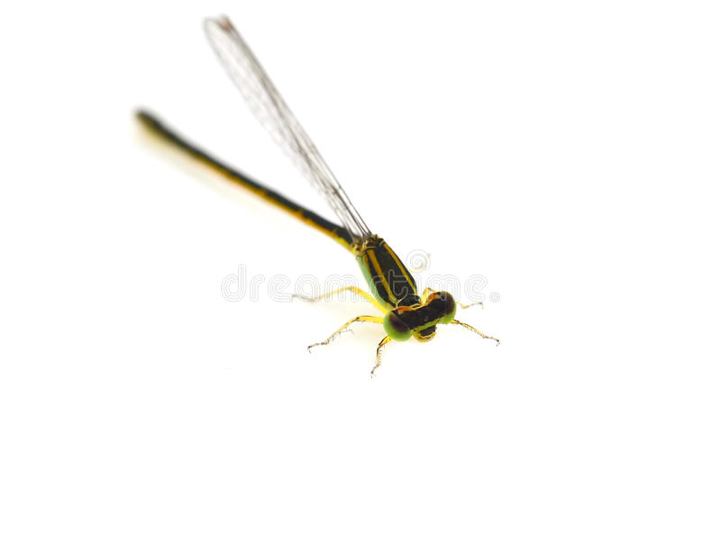 Download Libellule image stock. Image du transparent, broche, insecte - 45359541