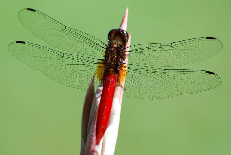 Download Libellule image stock. Image du over, nature, vert, repos - 72925