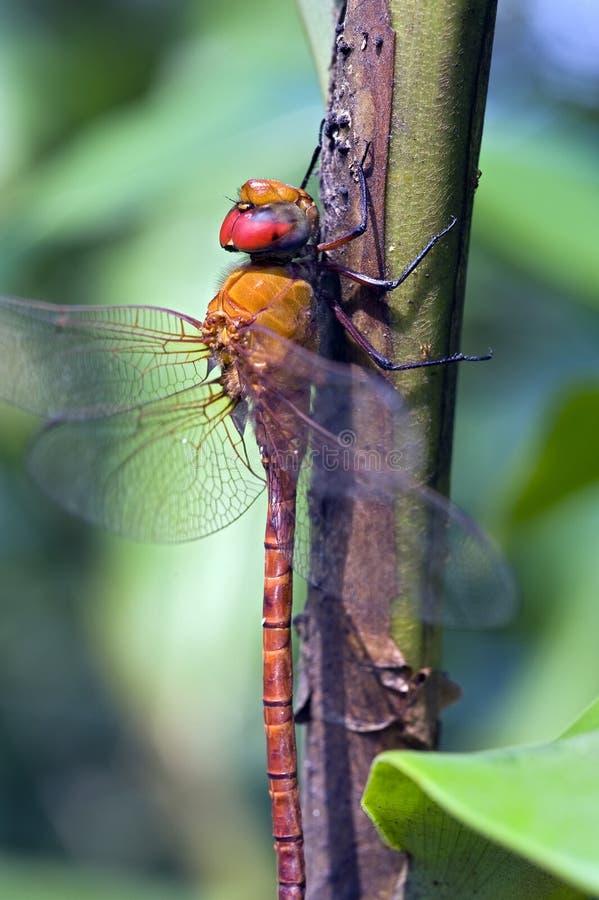 Libellule aperçue dans la forêt tropicale atlantique image libre de droits