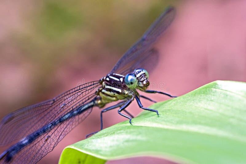 Libellule aperçue dans la forêt tropicale atlantique photo stock