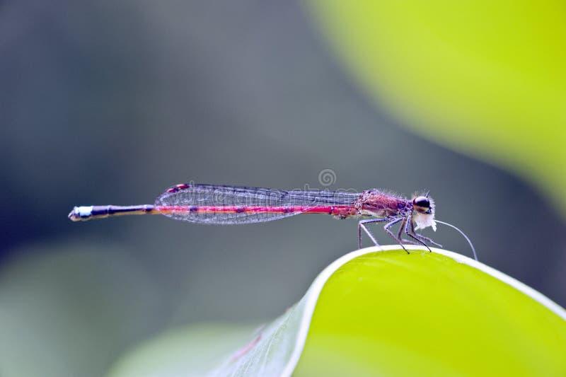 Libellule aperçue dans la forêt tropicale atlantique photos libres de droits