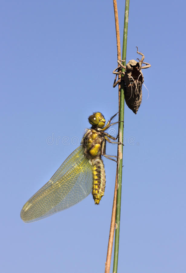 Libellule apparaissant de ses larves photographie stock libre de droits